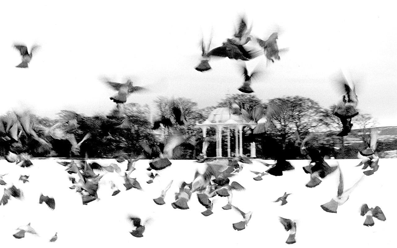 Pigeons at Duthie Park