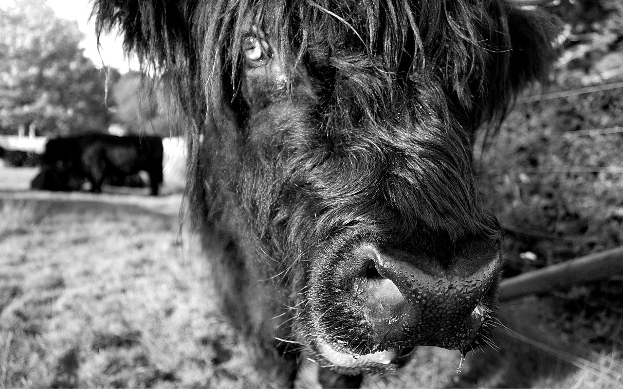 Hamish the cow at Inverary Castle